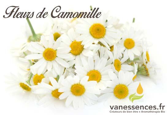 fleurs de camomille romaine noble