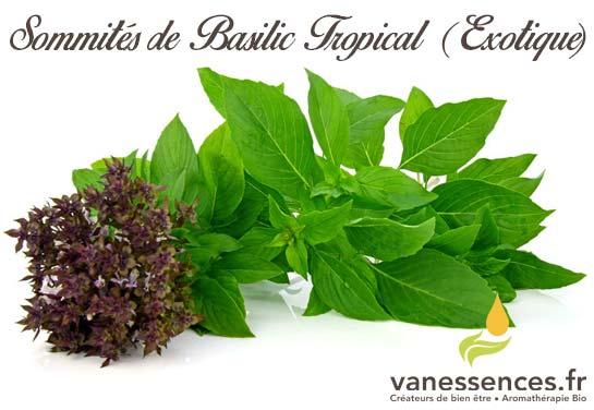 Sommités de Basilic tropical ou exotique
