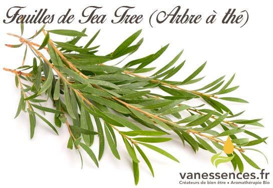 feuilles de Tea tree (Arbre à thé)
