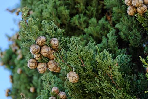 Cupressus sempervirens - Cyprès toujours vert