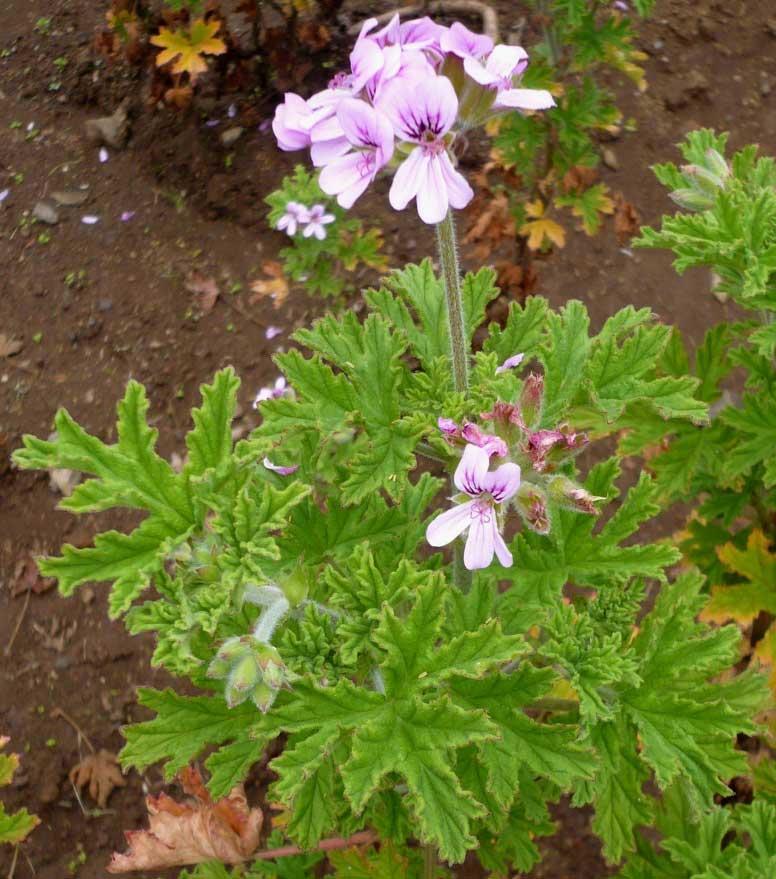 Pelargonium Asperum - Géranium Rosat
